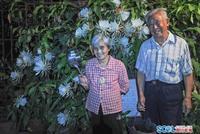 成都八旬夫妻种出年开300朵的昙花树