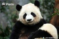 高萌!大熊猫文莉被宝宝缠上了