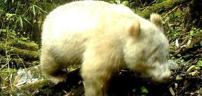 全球首次拍到白色大熊猫