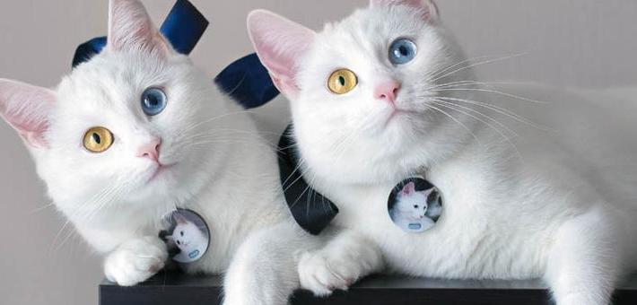 双胞胎喵星人天生异瞳高颜值成网红