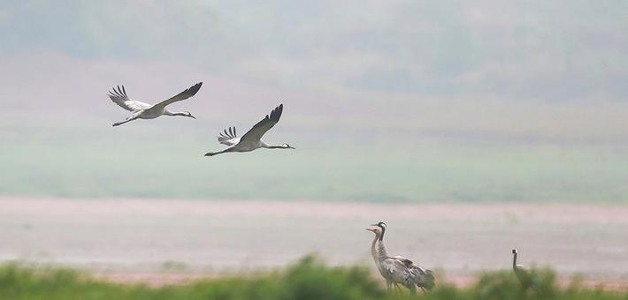 鄱阳湖候鸟归来舞姿翩跹