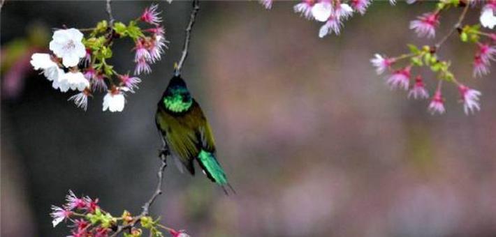"""庐山:""""亚洲蜂鸟""""悬飞枝头 吸食花蜜"""