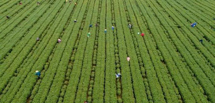 航拍吉水茶园采茶忙 助力群众脱贫增收