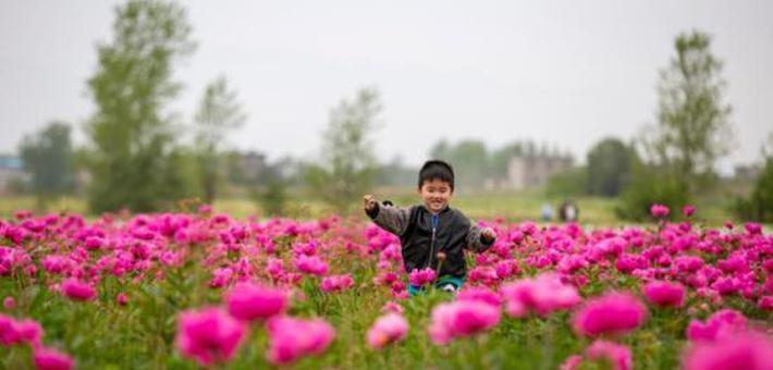 九江千亩芍药争奇斗艳 吸引游客踏青赏花