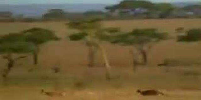 视频:野生动物园里的惊人一幕