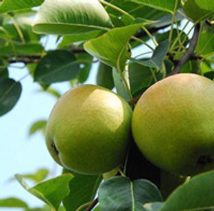 来大梨树享采摘之乐 丰收之悦
