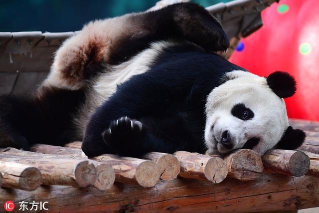 沈阳野生动物园里大熊猫趴着晒太阳