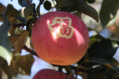 """辽宁相册——辽宁土特产 锦州义县寒富苹果:在""""寒地""""长出的甜果子"""