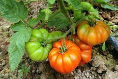 辽宁相册——辽宁土特产 盘锦碱地柿子:扎根盐碱地的番茄
