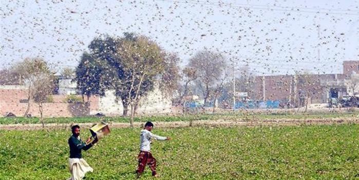 中方将向巴基斯坦派权威灭蝗工作组 技术世界领先