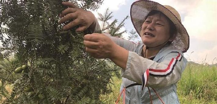 宁波四明山香榧进入采摘季