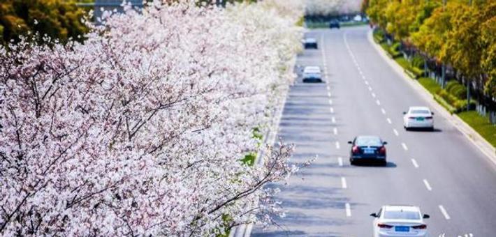 美丽北仑千米樱花大道