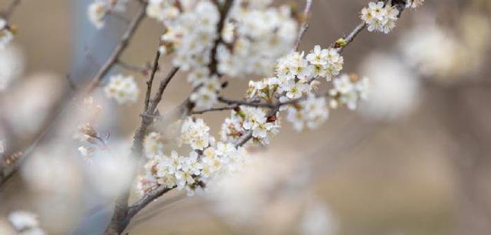 甬洞桥樱桃树花开得正艳