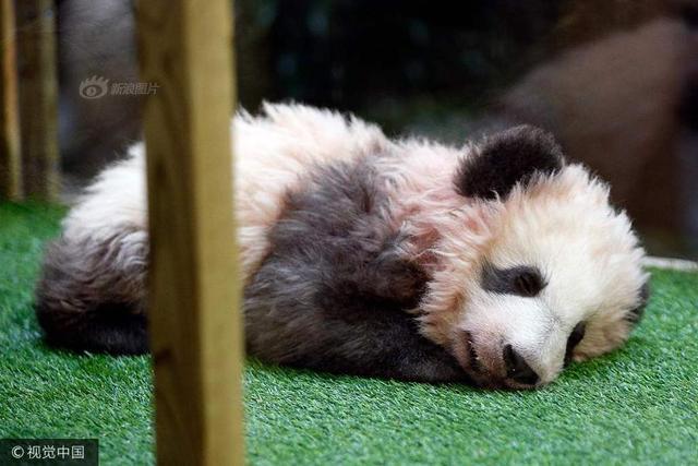 """给小熊猫取名-圆梦圆里的图片-旅法大熊猫幼仔获名"""""""""""