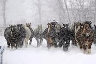 """日本北海道马儿在雪地奔跑 重现""""万马奔腾"""""""