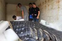 浙江温州:千斤鲸鲨误入渔网后