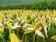 捉谣记|黑龙江大面积种转基因玉米?人民日报辟谣