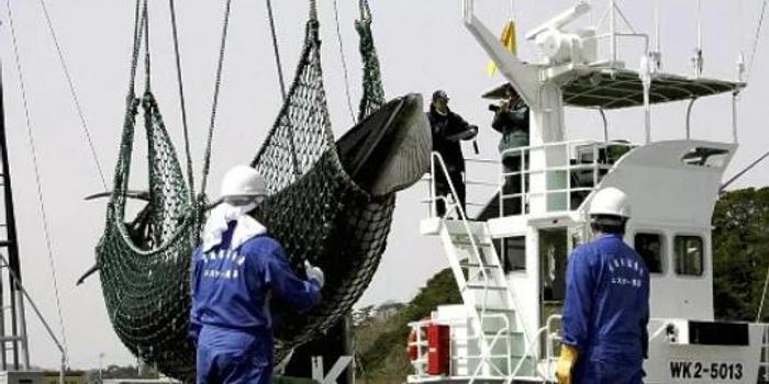 日本将退出国际捕鲸委员会 时隔30年重启商业捕鲸