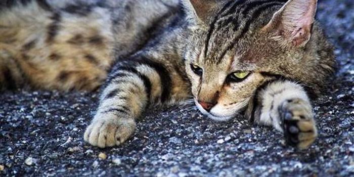 网络麻将_澳大利亚政府要毒杀200万只野猫 遭16万民众反对