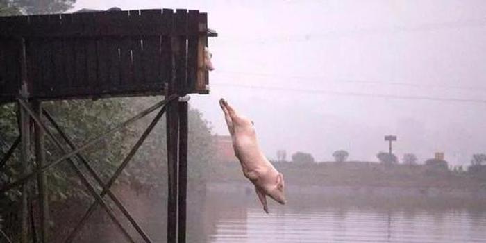 猪圈里的?;?四川当地的成华猪比大熊猫都稀少