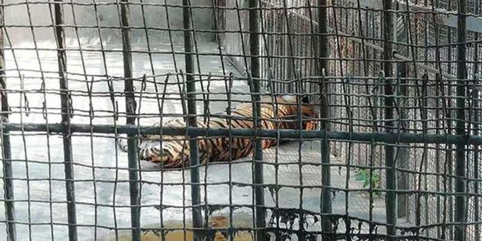 不幸 河南原阳马戏团脱逃老虎到动物园时已死亡