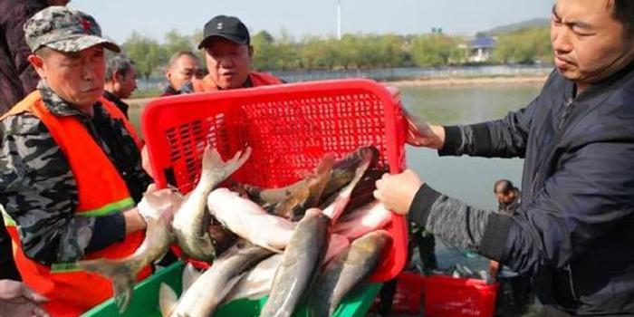 高校捞三千余斤鱼给学生改善生活 最大一条重百斤