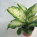 這8種植物放在家裏 就等於害了家人健康