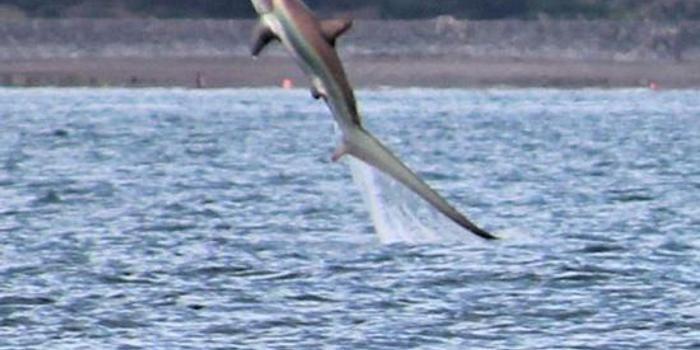 见过鲨鱼跃出水面的景象吗?英国摄影师拍到这一幕