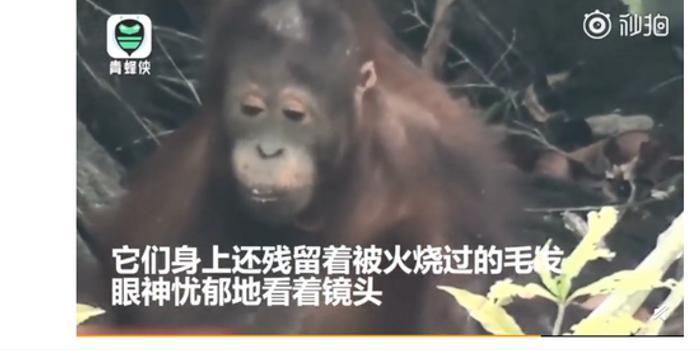 红毛猩猩逃过印尼森林火灾 躲在河边一脸忧郁