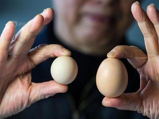 大伯买到圆形鸡蛋 形如乒乓球