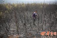 3万株树苗被烧 1株本卖上百元