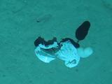 """""""潜龙三号""""在深度达3900多米的南海海底拍到塑料垃"""