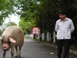 """汶川地震""""猪坚强""""伤病痊愈 恢复每日散步计划"""