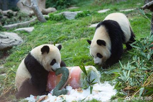 """澳门大熊猫""""健健""""""""康康""""迎来2周岁诞辰"""