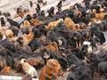 藏獒经济雪崩,遗留问题不能无解