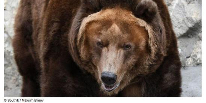 """哭笑不得 俄棕熊""""搶劫犯""""洗劫獵人食物后逃跑"""