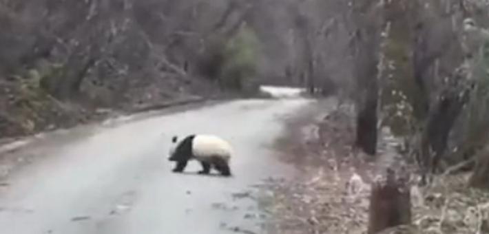 游客自然景区遇野生大熊猫横穿马路