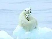 捉谣记|北极32度高温我们再也见不到北极熊?真相是这样