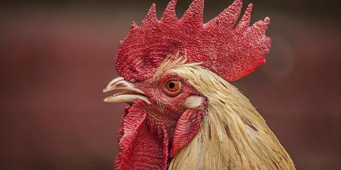 """公鸡夜间打鸣扰民 瑞士法院为其定""""打鸣时间表"""""""