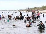 上万人奔向澳洲海滩挖鲍鱼 华