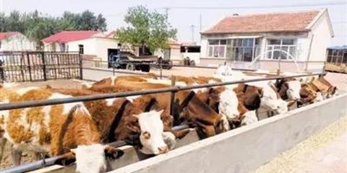 通辽市克左后旗:嘎查在养牛方面出了名