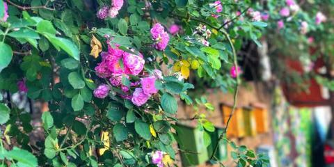 青岛蔷薇颜值爆表错过再等一年