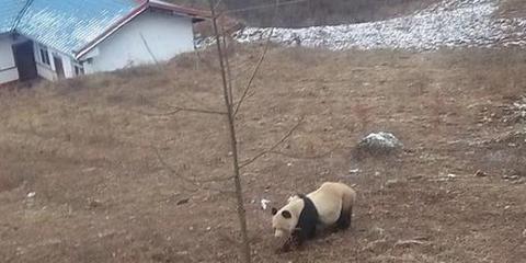 乐山野生大熊猫下山 偷吃村民圈养山羊