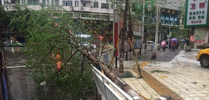 达州行道树被风吹倒 市民质疑树栽浅了