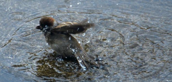 入伏7月 麻雀戏水避暑降温