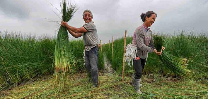 蔺草客的收割季