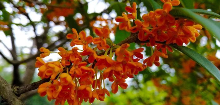 满城桂花香 乐山这些地方可以赏花