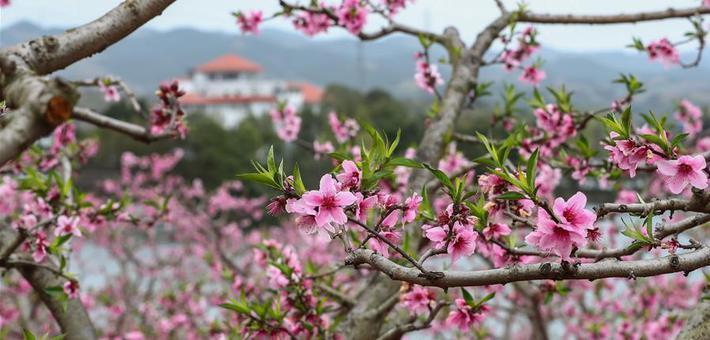 龙泉桃花开了 一片粉红