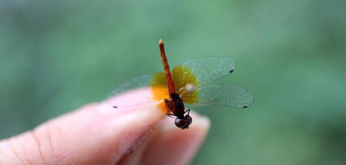 四川发现世界最小蜻蜓
