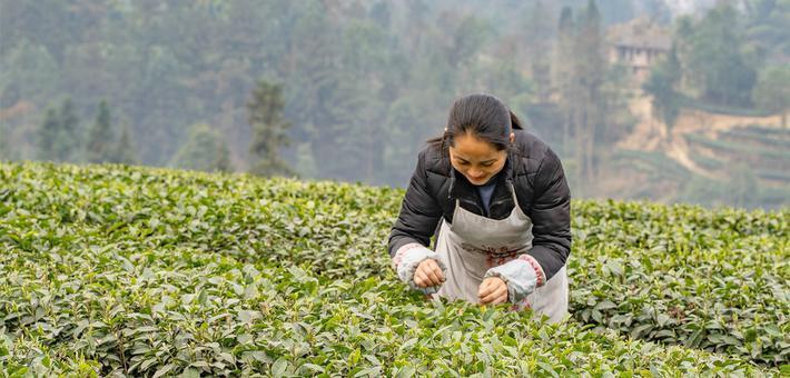 内江威远万亩茶园春茶采茶忙